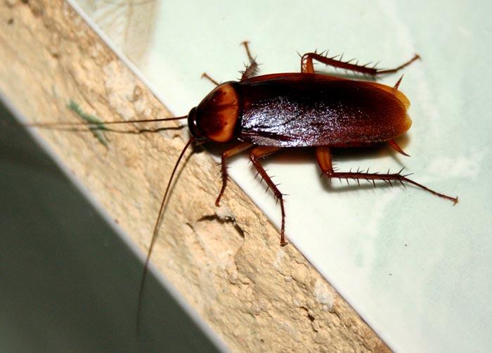 Blatte e scarafaggi nomi diversi un 39 unica famiglia i for Nomi dei gemelli diversi