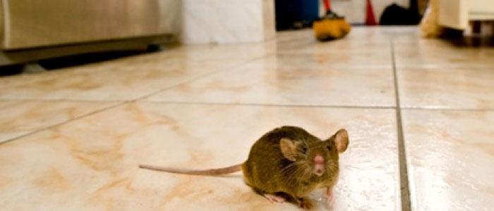 Topi in casa: disinfettare ed eliminare ambienti domestici - Hampton