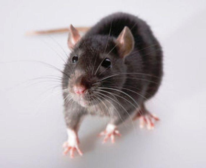 Eliminare i topi in maniera innocua e definitiva - Hampton