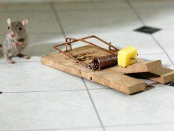 Come eliminare la cacca di topo hampton - Come uccidere i topi in casa ...