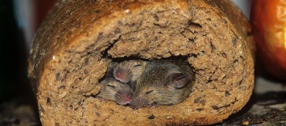 infestazione di ratti nel tuo ristorante ecco cosa puoi fare. Black Bedroom Furniture Sets. Home Design Ideas