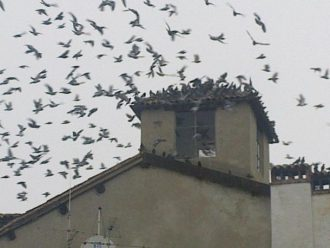 piccionidiss-02