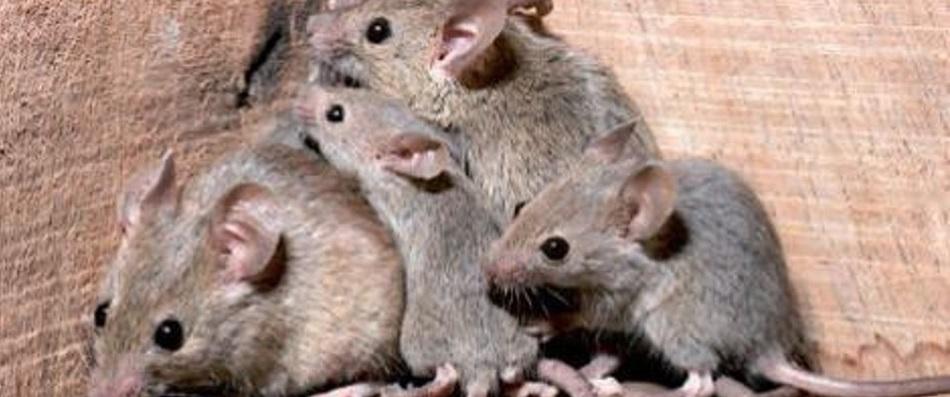 Come trovare un topo in casa - Come uccidere i topi in casa ...