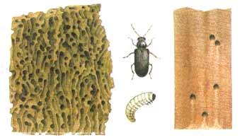 tarlo e larva