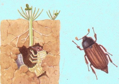 larva maggiolino