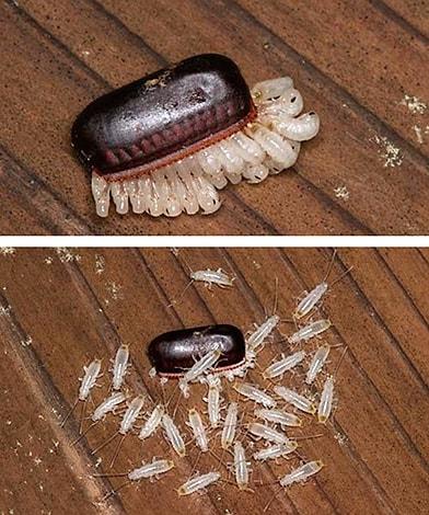 scarafaggini