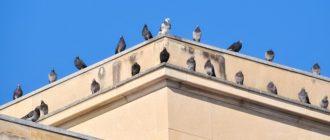 piccioni1