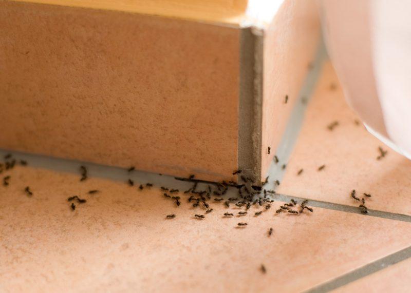 formiche invasione