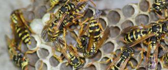 infestazione vespe